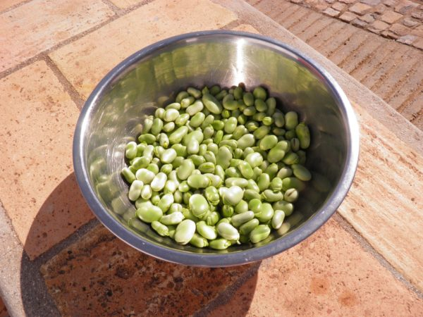 broad-beans-1001279_1920