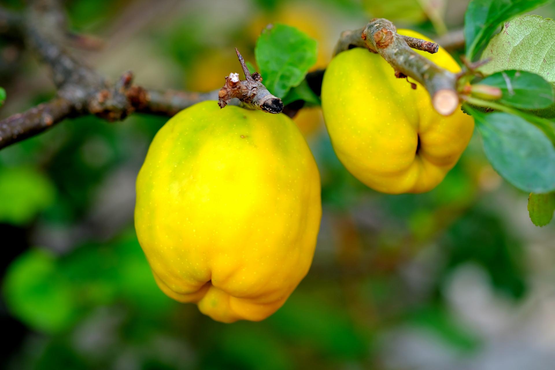 ornamental-quince-2684072_1920